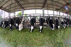 Китай Cowshed длинней стали Prefab пяди обрамляя гальванизированный системами стальной с панелями сандвича завод